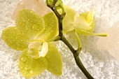 Orchid with salt crystals