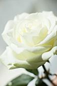 Eine weisse Rose