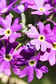 Bird's-eye primrose (primula farinosa)