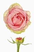 Rose Rose (Blüte und Stiel)