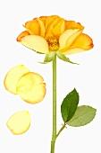 Gelbe Rose mit Blütenblättern