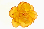 Yellow rose (overhead view)