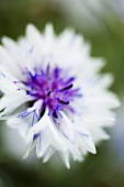 weiße Kornblume (Centaurea)