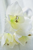 Christmas decoration: white amaryllis flowers