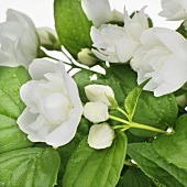 Mock orange (Philadelphus)