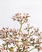 Valerian (flowering)