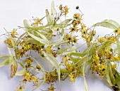 Lime flowers and bracts