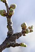 Buds on a fruit tree
