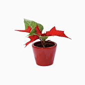 Poinsettia in flowerpot