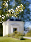 Flowering branch with historic building in background (Sweden)
