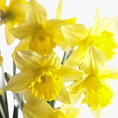 Flowering narcissi