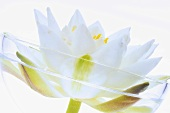 White water lily (Nymphaea alba), close-up