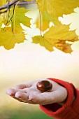 Hand holding chestnut below autumnal maple branch