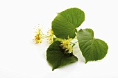 Lime blossoms and leaves, close-up