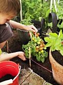 Junge pflanzt eine Tomatenpflanze um