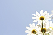 Marguerites against blue sky