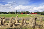 Stooks of rye in a field