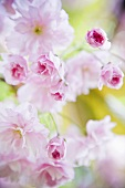 Japanese cherry blossom (close-up)