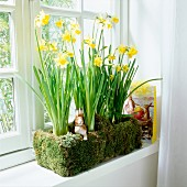Daffodils in a window box decorated with moss and Easter bunnies on a window sill