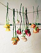 Colourful roses hanging on cord to dry
