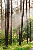 A forest in the early morning, Warmia-Masuria, Poland