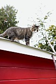 Tabby cat on roof of red wooden cabin