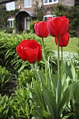 Flowering tulips in a front garden of an English country house