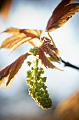 A maple sprig with seeds