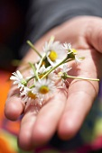 Daisies in the palm of a child's hand
