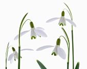 Snow drops (Galanthus nivalis)