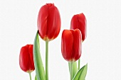 Four red tulips in front of a white background