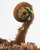 Tree fern (Dicksonia antarctica) sprouting and with rolled up stems