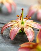 Lilienblüte der Sorte Slade Select