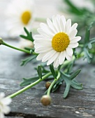 Daisy flowers (Argyranthemum Frutescens)