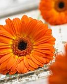 Orange gerbera 'Gerbera Isola'