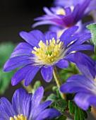 Anemone flowers (Anemone Blanda) 'Blue Shades'
