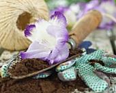 Violet gladiola flower on a garden trowel with soil