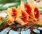 Gladiolenblüten der Sorte Gladiolus Anique & Gartenwerkzeug