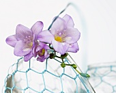 Lilac freesia flowers on a wire basket