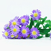 Purple flowers of the Bushy Aster (Aster Dumosus)