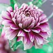 Two tone dahlia flower (close up)