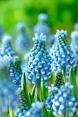 Blue grape hyacinth (Muscari Blue Magic)