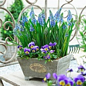 Blue grape hyacinth and horned pansies in a plant container