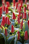 Flower bed with rose colored tulips (Tulipa Robassa)