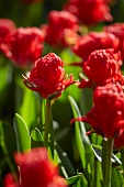 Tulip bed with red tulips (Tulipa Holland Baby)