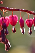 Red bleeding heart (Dicentra)