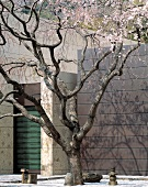 Cherry tree with pink blossom in a courtyard with contemporary architecture