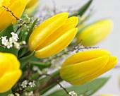 Yellow tulips (Tulipa Strong Gold)
