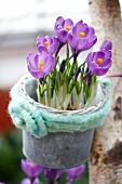 Purple crocus in a plant pot hanging on a tree