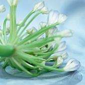 Blüte der Schmucklilie (Agapanthus)